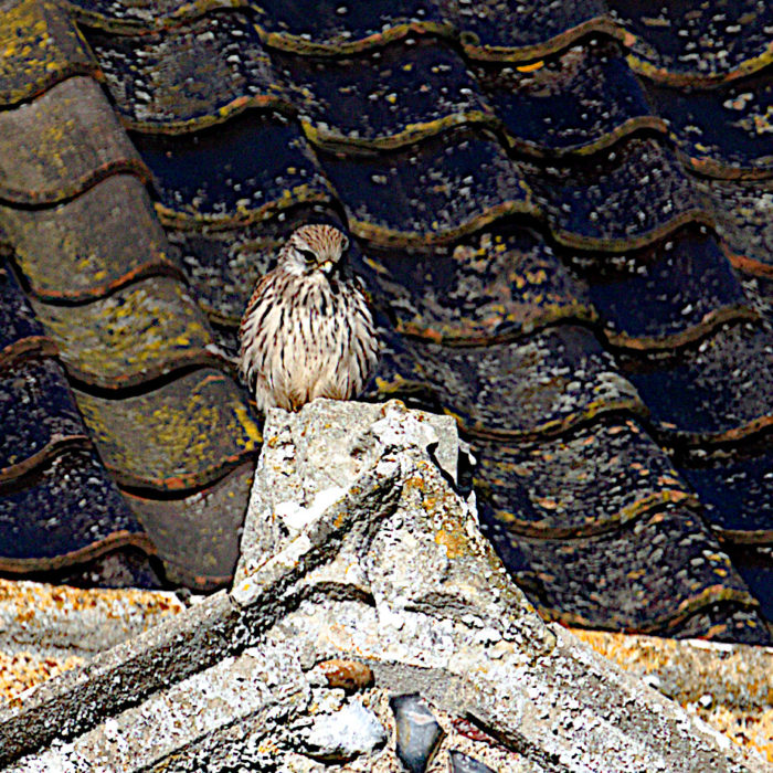 A kestrel for the nave