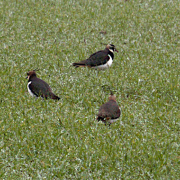 Long lost Lapwings