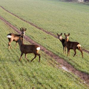 Roaming roe deer
