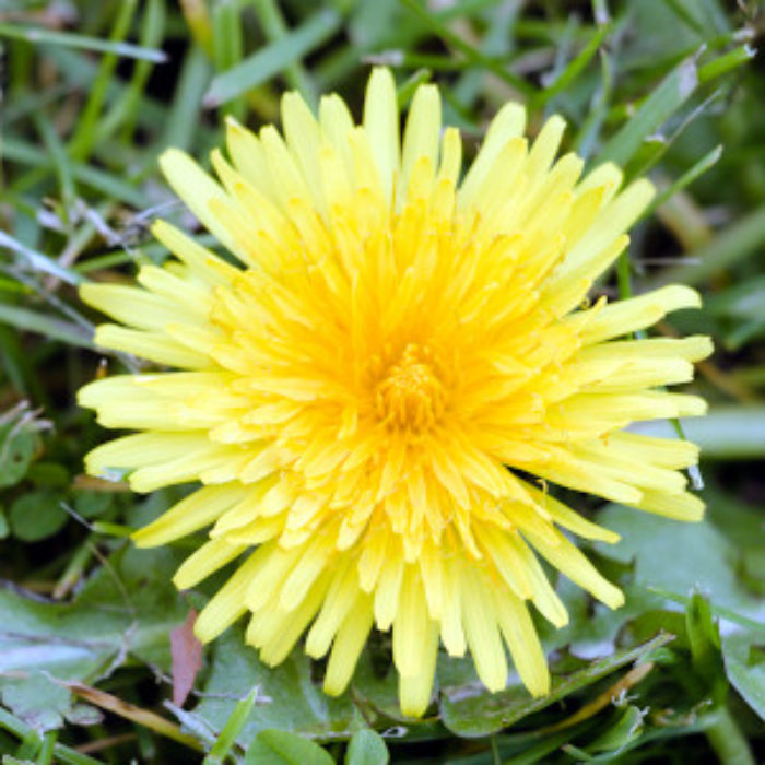 Dandelion. More than a wee flower
